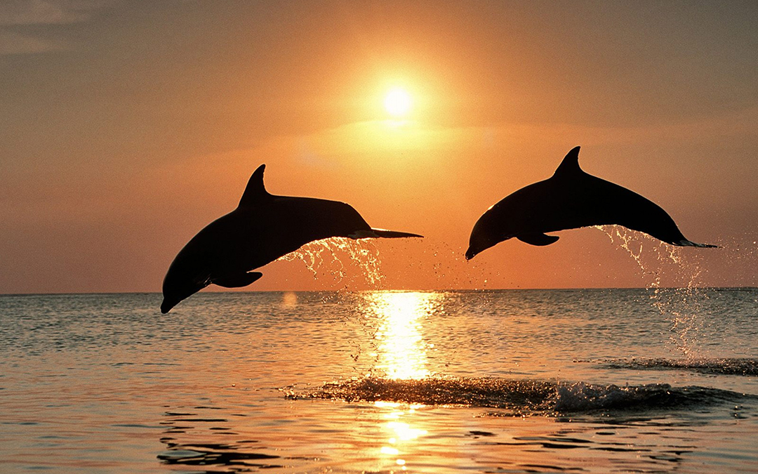 Dolphins in sea sunset